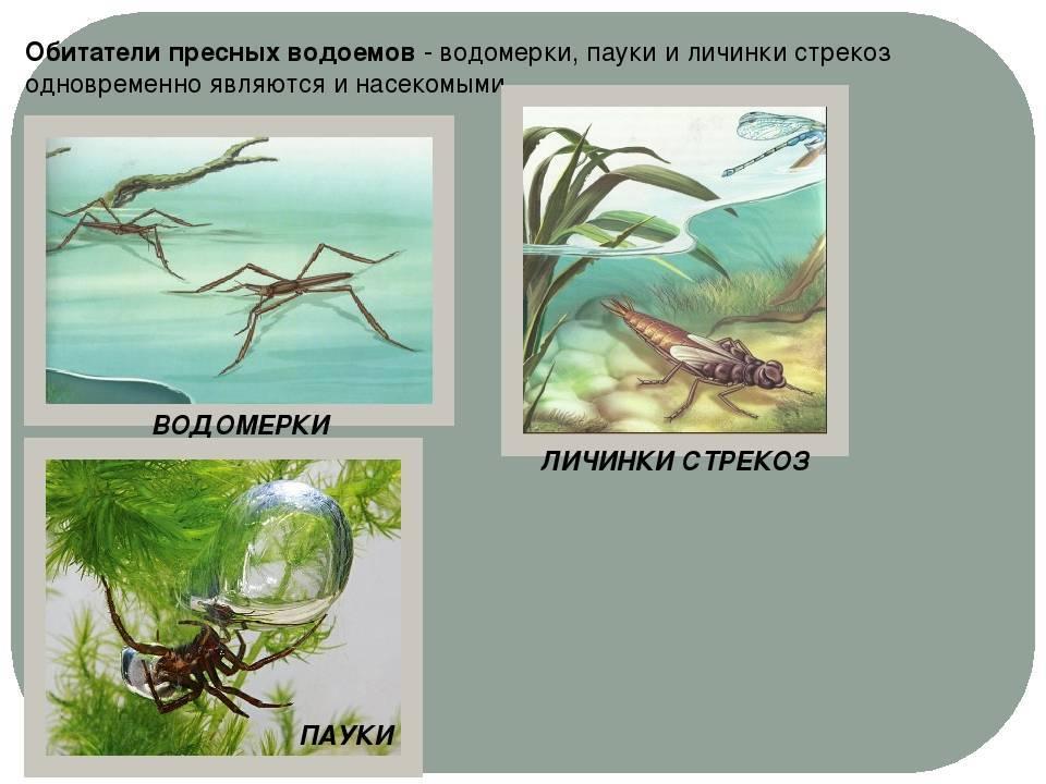 Наяс - наяда гваделупская или мелкозубчатая содержание в аквариуме, фото-видео обзор