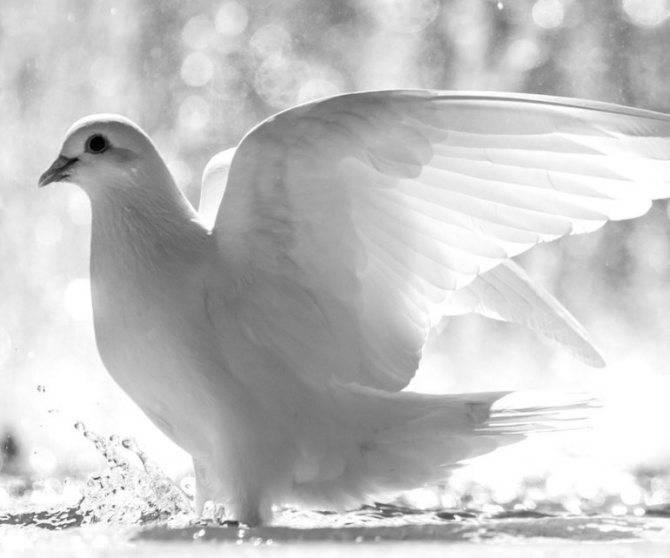 К чему снятся голуби, толкование сна по соннику