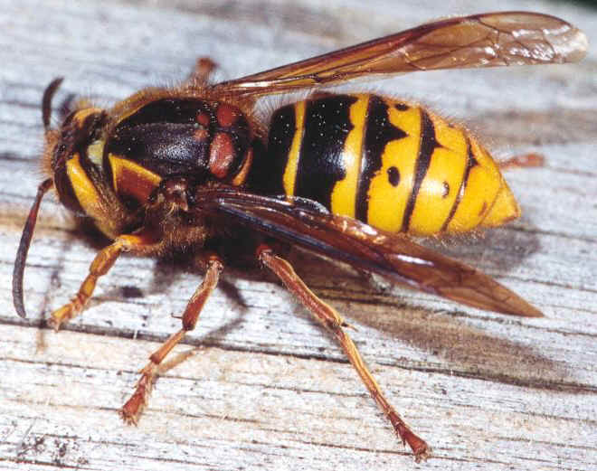 К чему снятся осы во сне женщине: подробное толкование