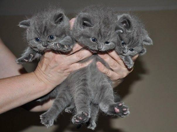 Маленькие серые котята