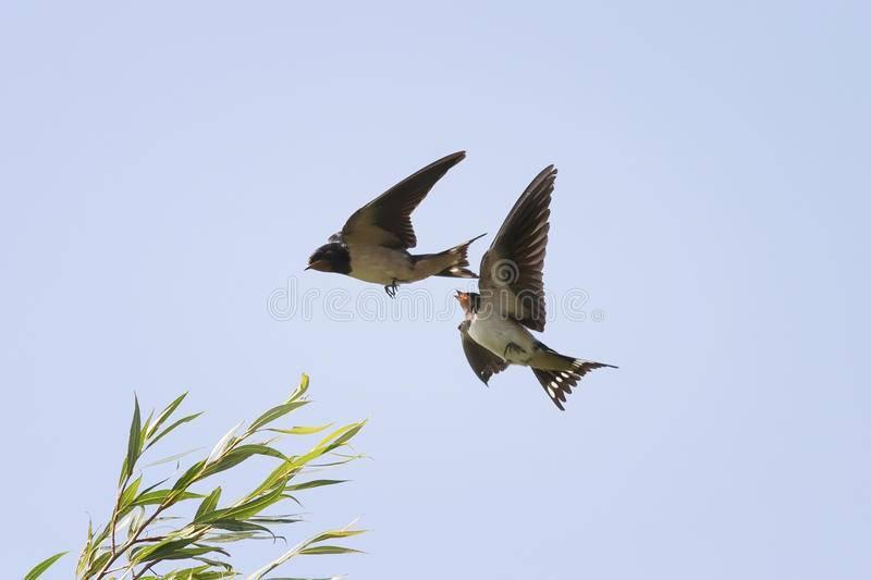 Птица ласточка: описание, гнездо, птенцы, фото, приметы, что едят