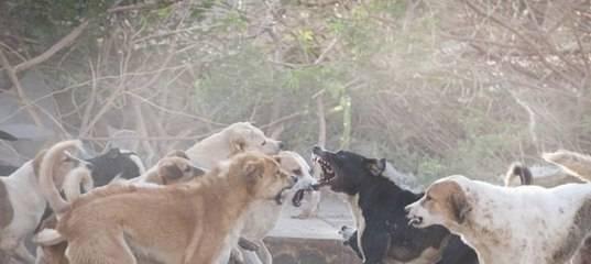 Сонник стая собак нападение. к чему снится стая собак нападение видеть во сне - сонник дома солнца