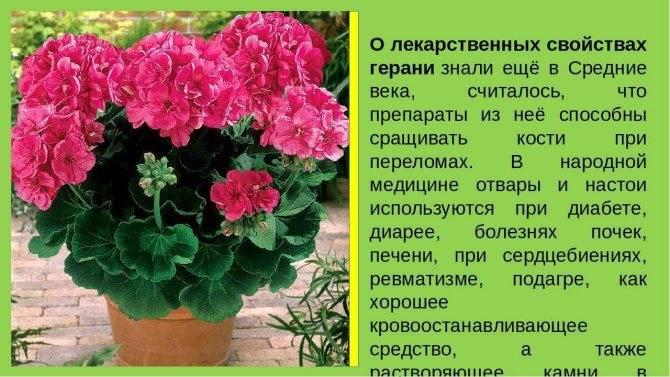 Можно ли держать цветок герань дома: приметы и необычные свойства