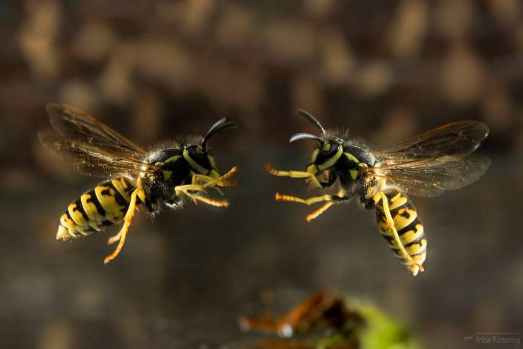 К чему снятся осы в доме — толкование в сонниках