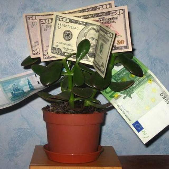 Как сажать денежное дерево для привлечения денег и в какой горшок?