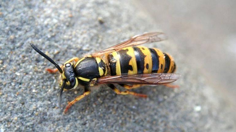 Сонник: осы, к чему снятся осы во сне приснились оса