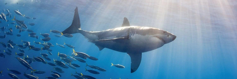 К чему снится, что напала акула женщине или мужчине - толкование сна по сонникам