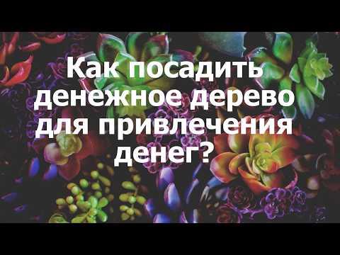 """""""денежное дерево"""" (толстянка): приметы и суеверия, можно ли цветок держать дома?"""