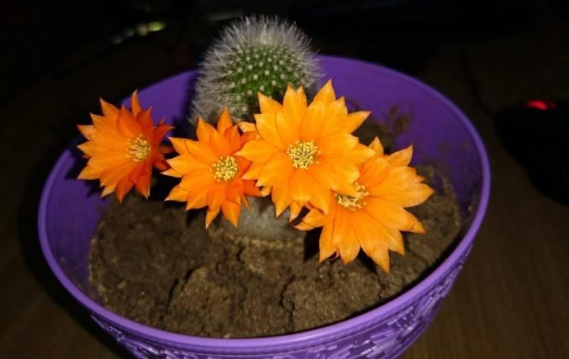 Для дома кактус полезен или вреден: влияние растения
