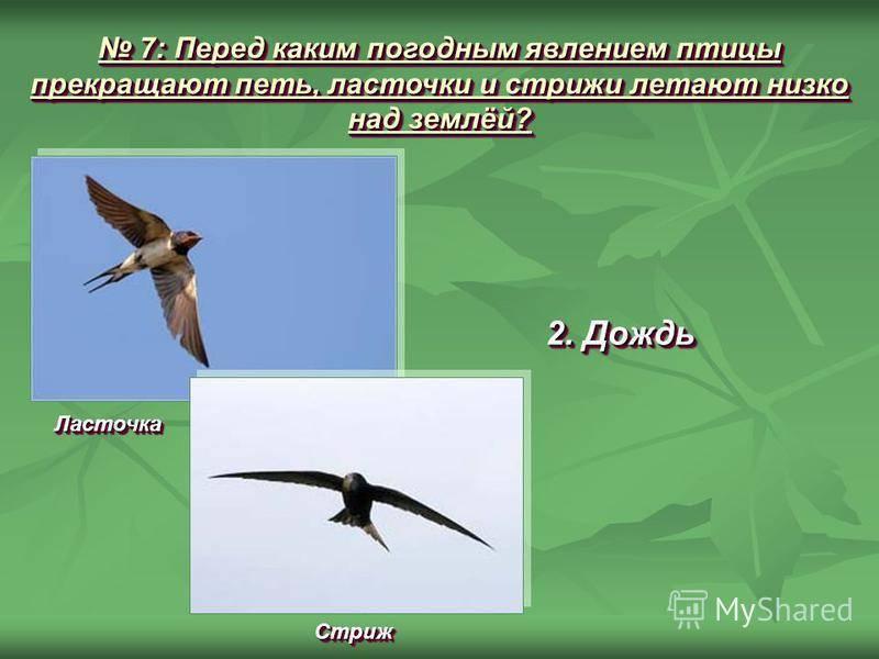 Если ласточки летают низко, то к чему это? сбывается ли эта примета