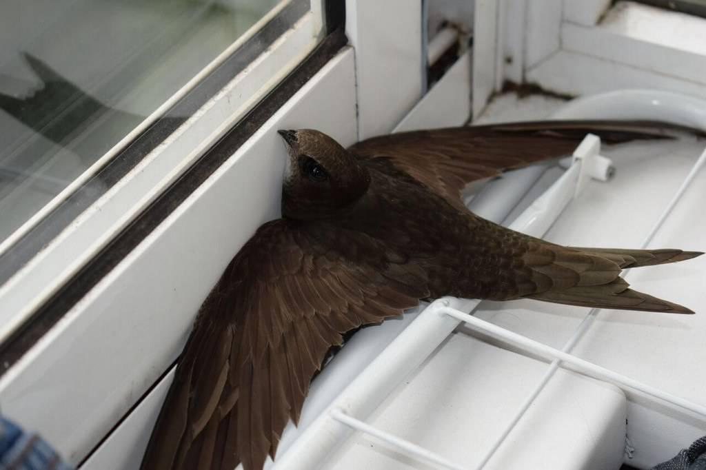 Примета: птица залетела в дом - к чему это и что делать, если птичка залетает в квартиру, в окно на работе
