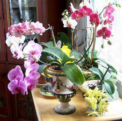 Можно ли держать орхидею дома, на кухне в условиях квартиры, а если нельзя, то почему?
