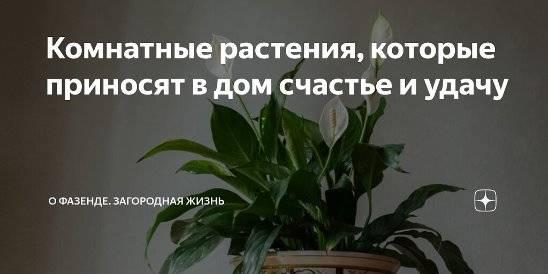Растения, приносящие удачу и несчастье (57 фото): суеверия и приметы, какие комнатные цветы можно разводить