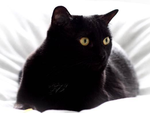 Сонник черно белый кот. к чему снится черно белый кот видеть во сне - сонник дома солнца
