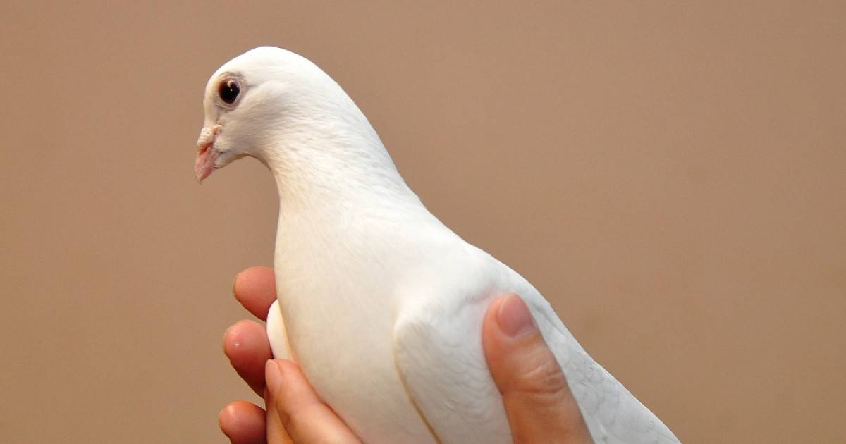 Белый голубь в окне