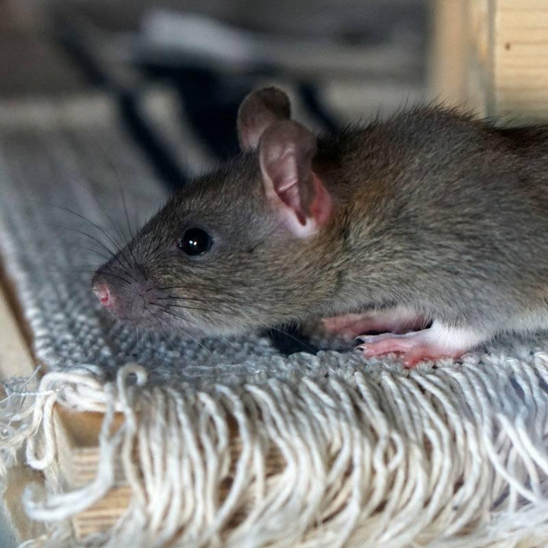 Сонник крыса черно белая. к чему снится крыса черно белая видеть во сне - сонник дома солнца