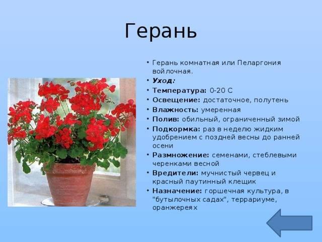 Герань в доме – можно ли держать цветок