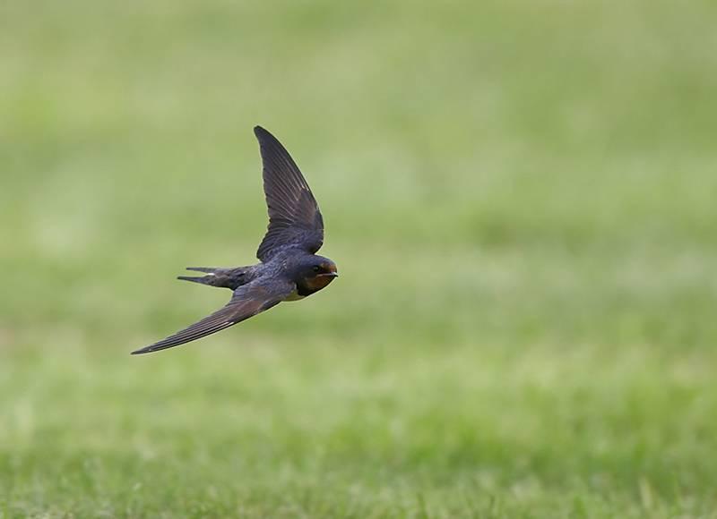 Ласточки летают низко: о чем предупреждают приметы