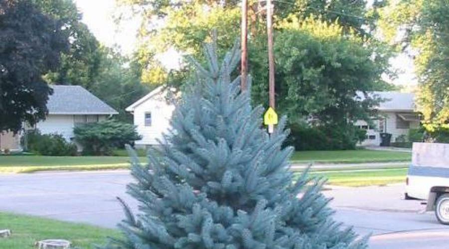 Ель во дворе – плохая примета. или почему нельзя сажать дерево на участке