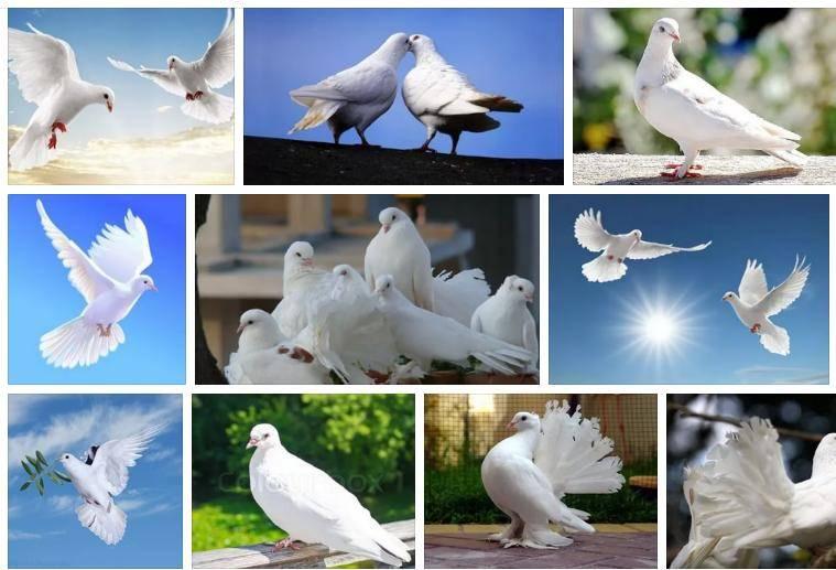 Сонник белый голубь сел