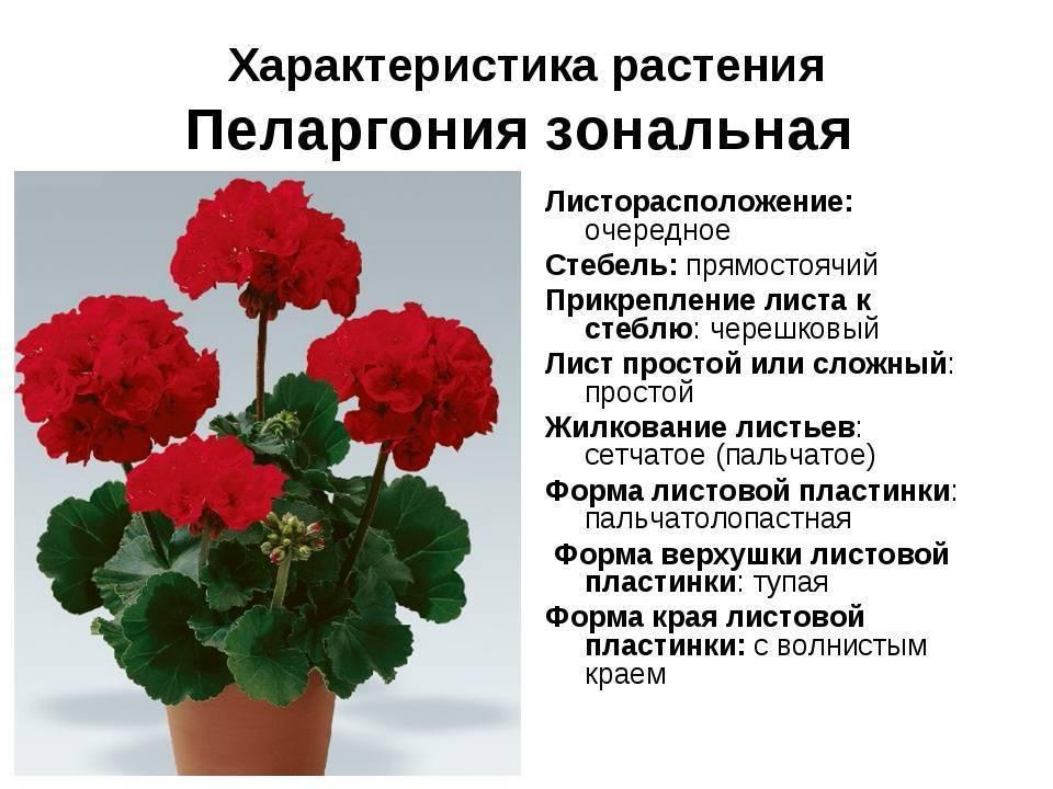 Герань в доме: приметы и суеверия о белой, красной, розовой, оранжевой и королевской пеларгонии, можно ли держать эти растения в квартире, к чему они цветут, снятся, не растут, какими магическими свой