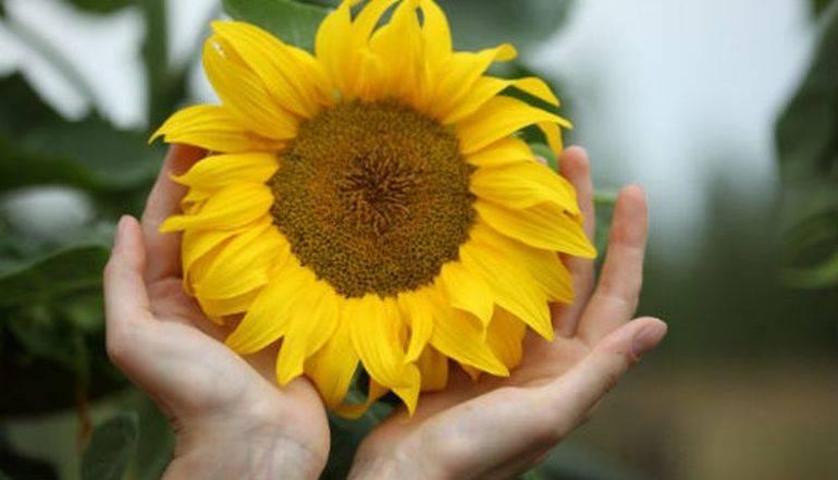 К чему снятся подсолнухи цветущие