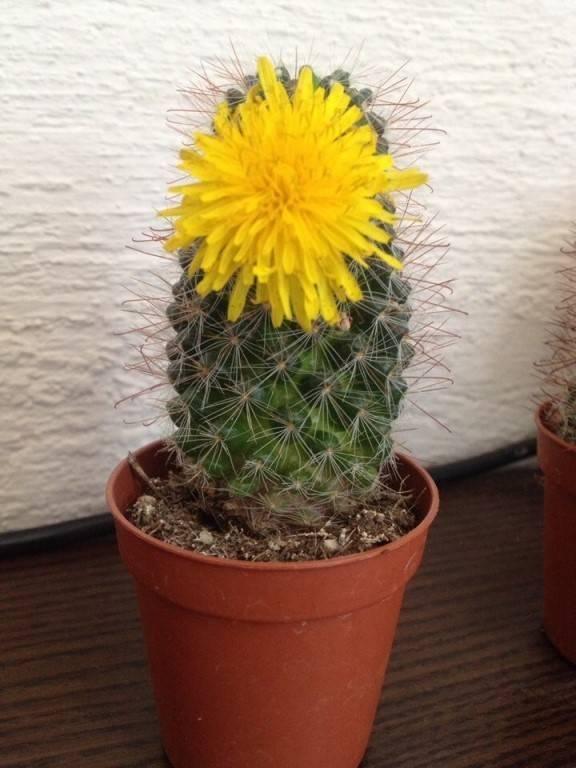 Что будет если зацвел кактус, можно ли держать в доме этот цветок: что говорят приметы