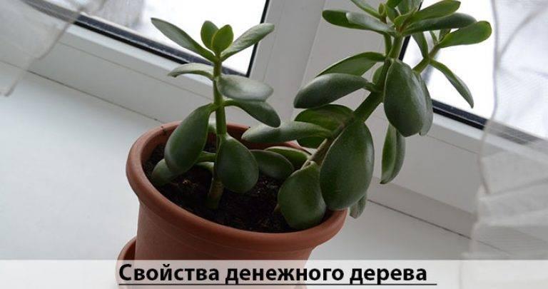 Можно ли держать дома денежное дерево — что хорошо, а что плохо в энергетике цветка