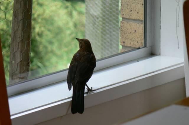 Стриж залетел на балкон, в окно – приметы