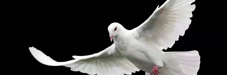 К чему снятся голуби: белого цвета, залетают в окно, садятся на голову и руки