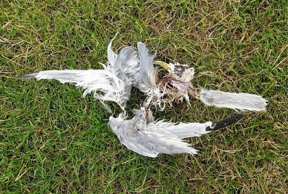 Убитая птица мертвая