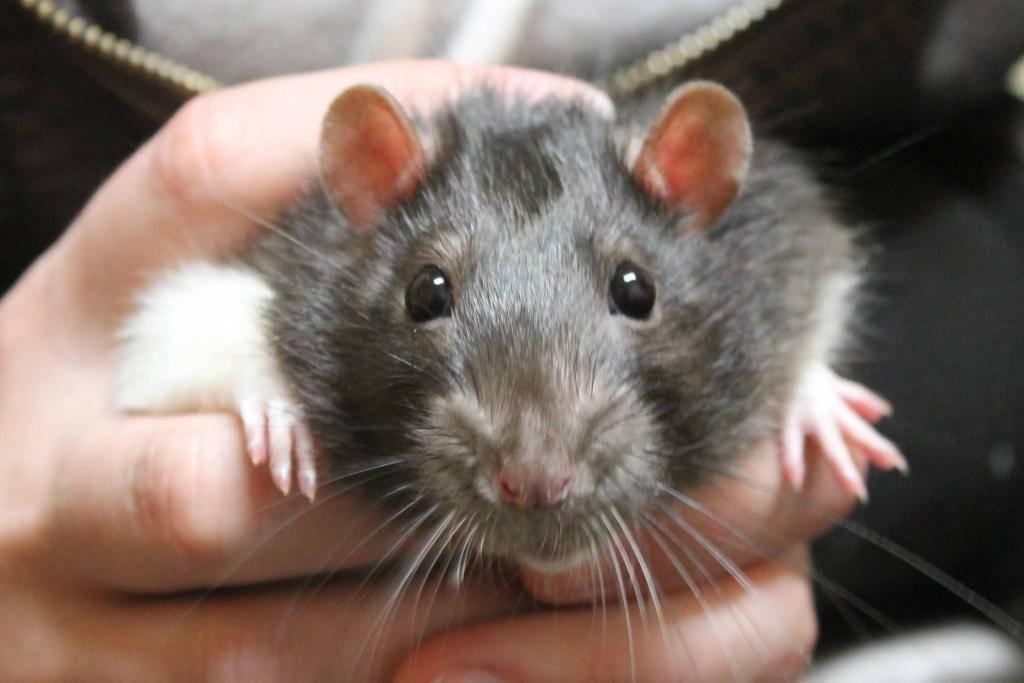 Видеть во сне живую крысу ????: 45 толкований ✨ по различным сонникам, к чему снятся большие грызуны в доме или в помещении женщине или мужчине, увидеть крысиный хвост