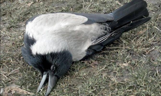 Умирающая птица сонник