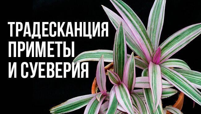 Цветы кактусы, можно ли их держать дома, что говорят о кактусах приметы и фен шуй