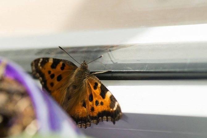 Примета бабочка залетела в дом — шоколадница, павлиний глаз, темная, суеверия