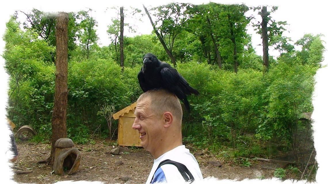 Приметы про ворон: к чему каркают, собираются в стаи и кружат, нападают на человека