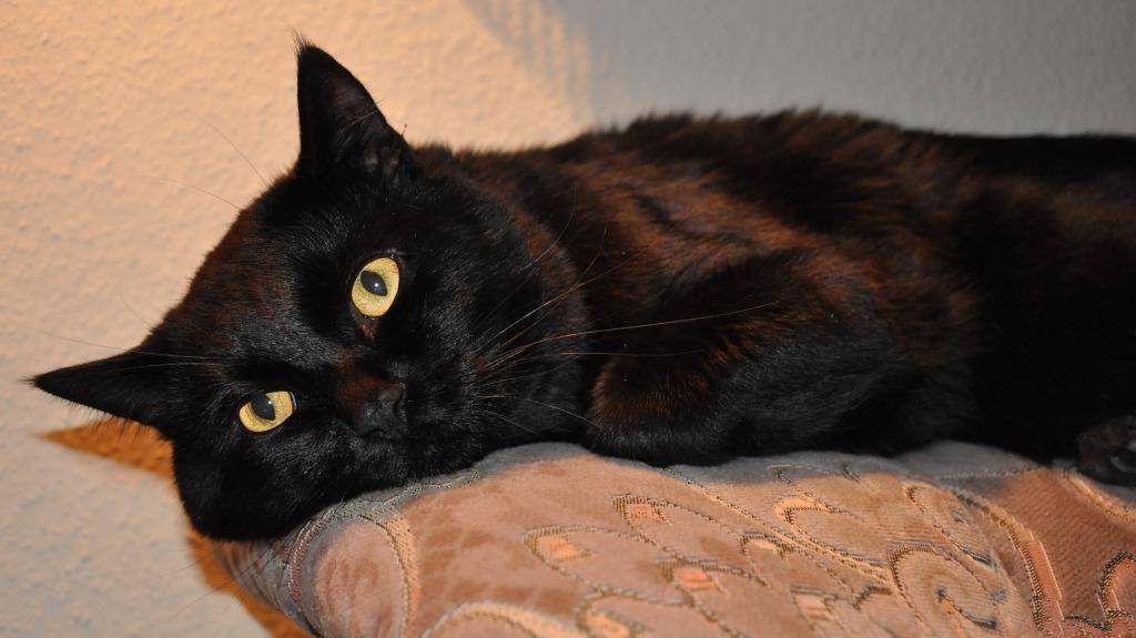 К чему снится чёрный котёнок? основные толкования - к чему снится чёрный котёнок: будьте бдительны! - автор екатерина данилова - журнал женское мнение