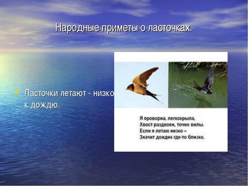 Ласточки летают низко: народные приметы и научное объяснение
