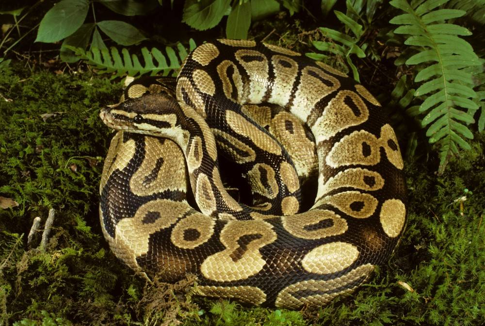 К чему снится змея большая? сонник: змея большая. толкование снов - tolksnov.ru