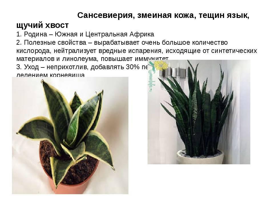Какие комнатные растения нельзя держать дома и почему