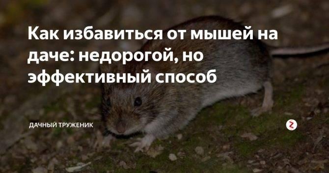 Заговоры от мышей и крыс – избавление от грызунов с помощью магии