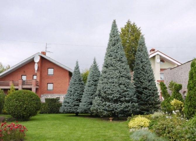 Почему нельзя сажать елку или сосну во дворе дома и на дачном участке