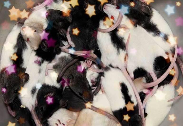 Крыса чёрная с белыми пятнами