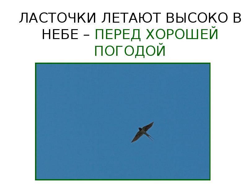 Что значит по приметам, когда ласточки летают близко к земле