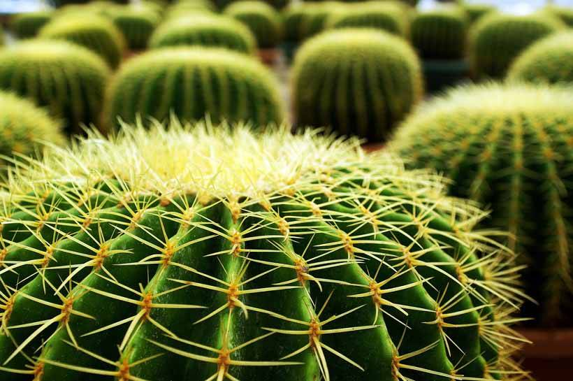 Народная кактусология