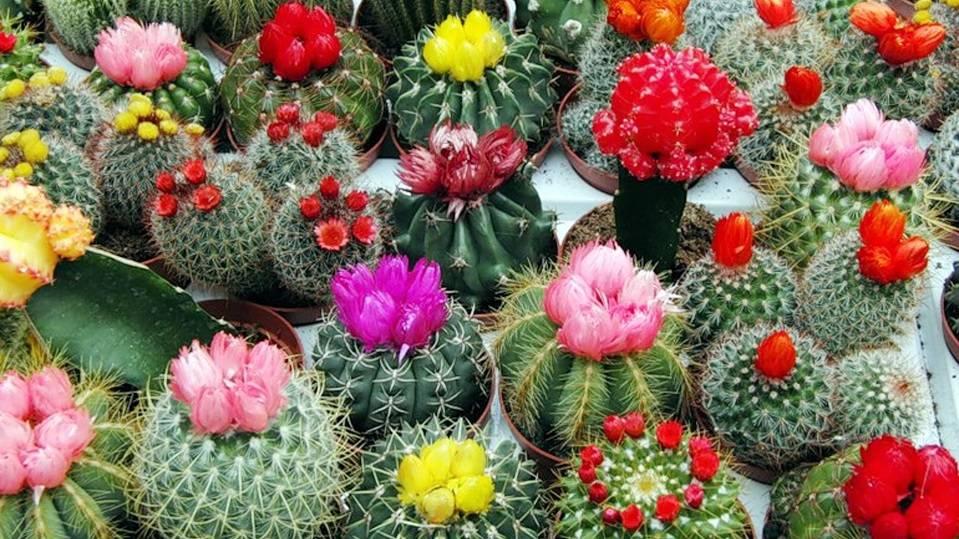 Почему нельзя держать дома кактусы: приметы, польза растения - red fox day