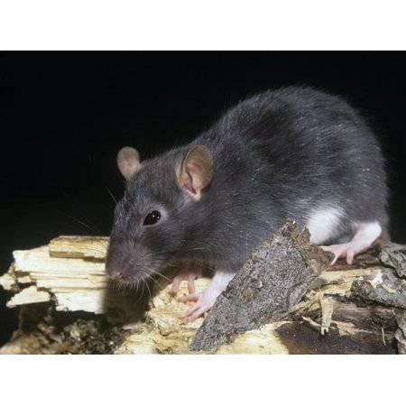 Сонник черная и белая крыса. к чему снится черная и белая крыса видеть во сне - сонник дома солнца. страница 6