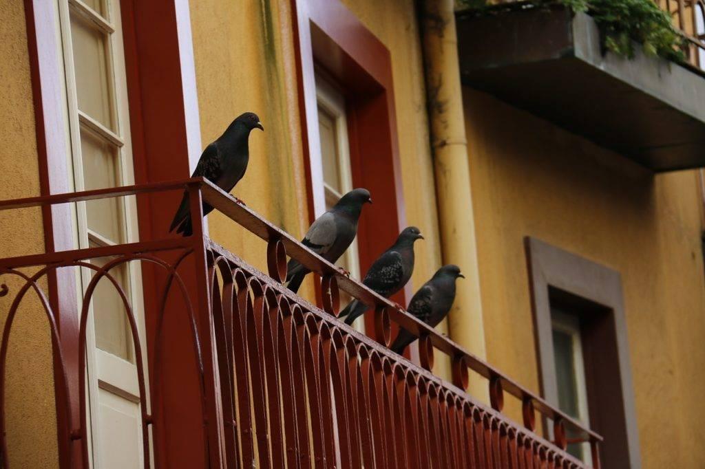 Голубь залетел на балкон – учимся толковать примету