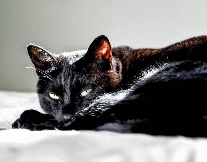 К чему снится чёрный кот: ждать ли беды? основные толкования — к чему снится чёрный кот: домашний или дворовый