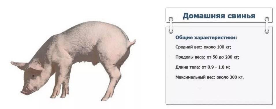 Свинья - гороскоп совместимости   совместимость свиньи в любовных отношениях